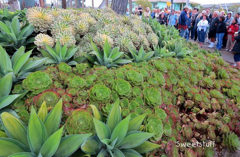 Aeonium decorum 'Sunburst', Agave attenuata 'Variegata', Aeonium canariense hybrid