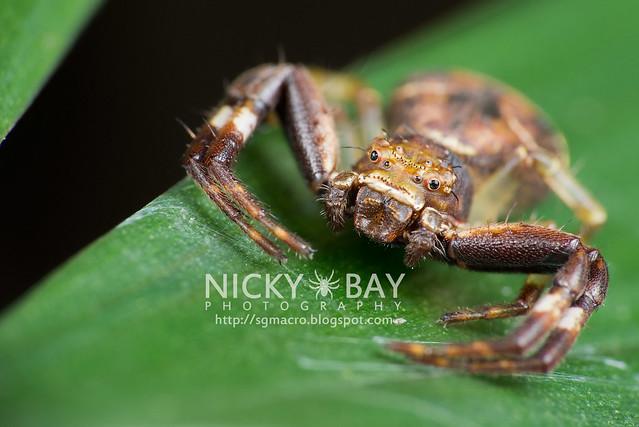 Crab Spider (Thomisidae) - DSC_5052