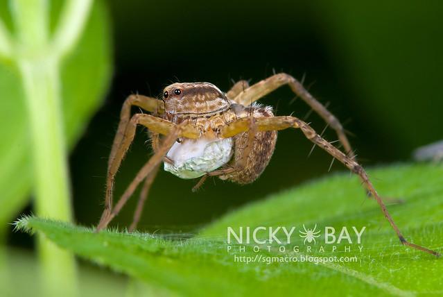 Wolf Spider (Lycosidae) - DSC_3627
