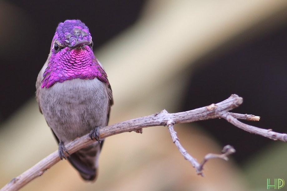 Costa's X Anna's Hybrid Hummingbird 100712