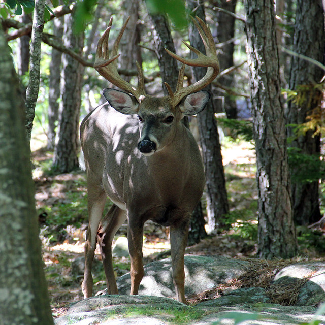 White tail deer flickr photo sharing