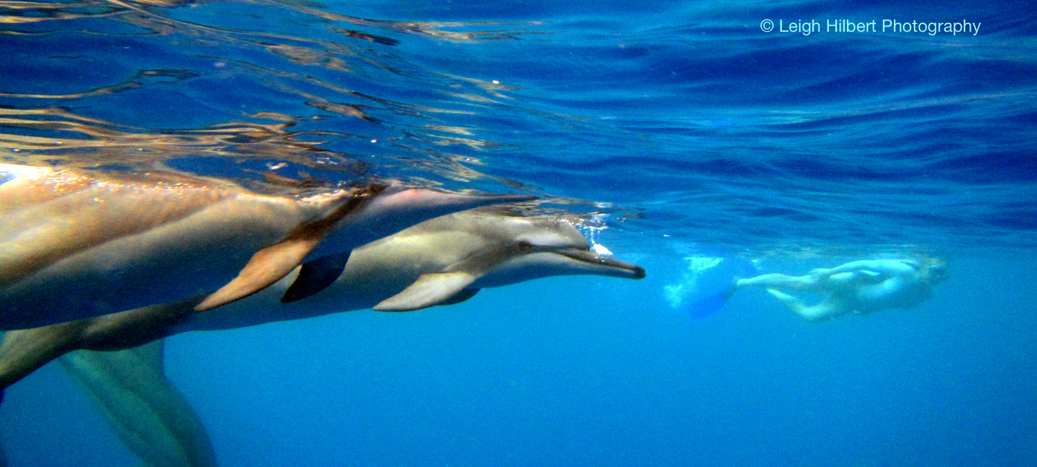 Spinner dolphins offshore of the island of hawaii flickr - Zoomarine bagno coi delfini ...