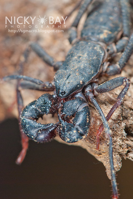 Whip Scorpion (Thelyphonida) - DSC_3101