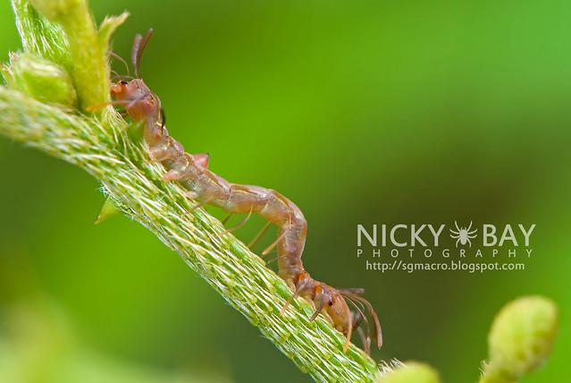 Owlet Moth larva (Homodes sp.) - DSC_2648