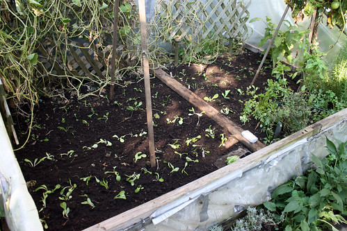 winter seedlings in cold frame 004