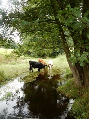 Calves in a sream