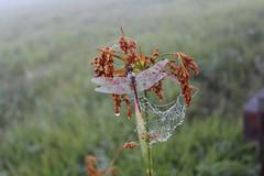 朝露の中眠るトンボ&蜘蛛の巣のネックレス