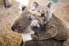 wallaby(0.0), animal(1.0), wombat(1.0), mammal(1.0), koala(1.0), fauna(1.0), wildlife(1.0),
