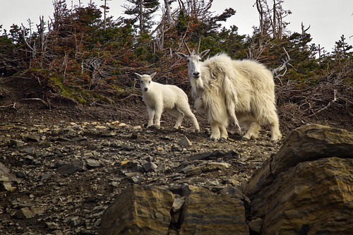 mountain goats - Glacier National Park - 7-02-12  01  -  Explore!