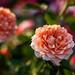 Mini Roses by drpavloff