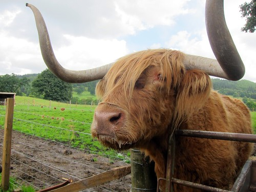 Close-up of a Highland Cow - a large, shaggy creature with long, curved horns.