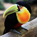 Green Beak Toucan.