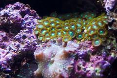 Green Polyps