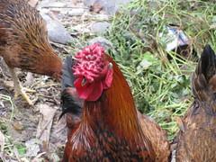 animal, chicken, rooster, poultry, fauna, comb, fowl, beak, bird, galliformes,