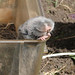 Lesser Mole Rat caught by researchers (Roy Taylor)