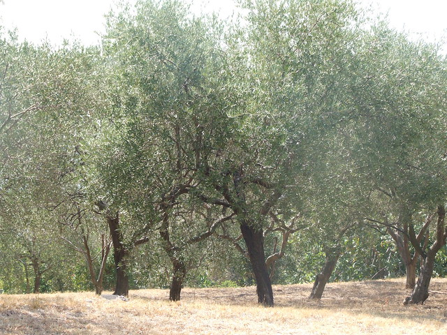 The olive trees  celebrating sunshine