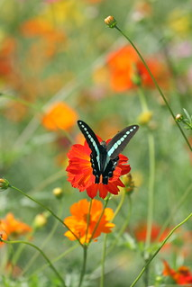 a butterfly in the cosmos field.