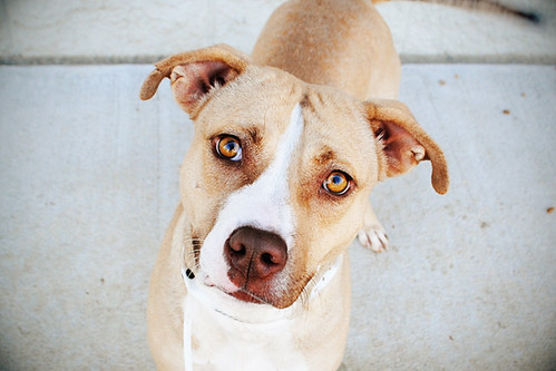 Lady Girl, American Bulldog/American Staffordshire Pitt mix