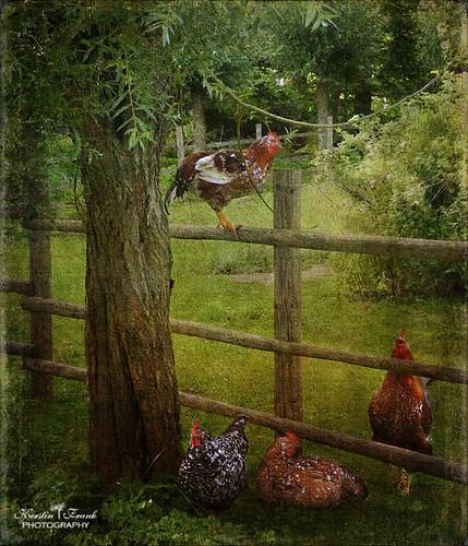 tree texture chickens photoshop garden stockholm cock skansen hen chickenfarm magicunicornverybest lenabemanna creativephotocafe