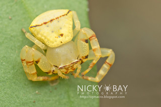 Crab Spider (Thomisus sp.) - DSC_5128