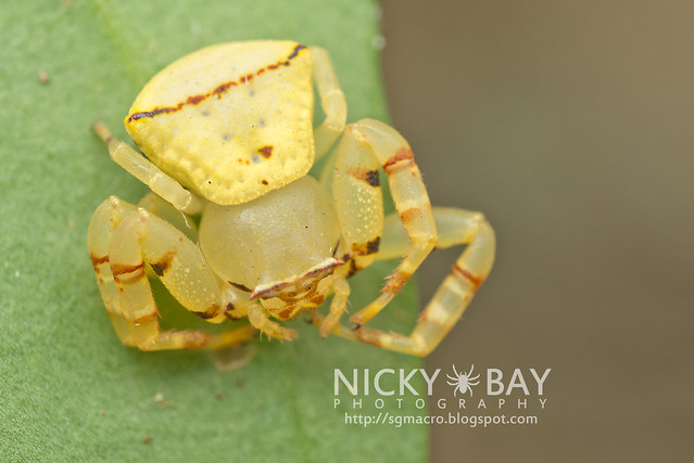 Crab Spider (Thomisidae) - DSC_5128