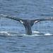 Humpback Whale fluking (Ian Nicholson)