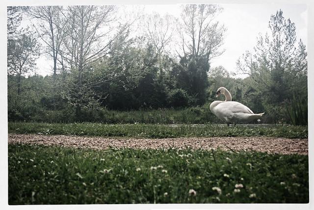 Barnsley Gardens Swan