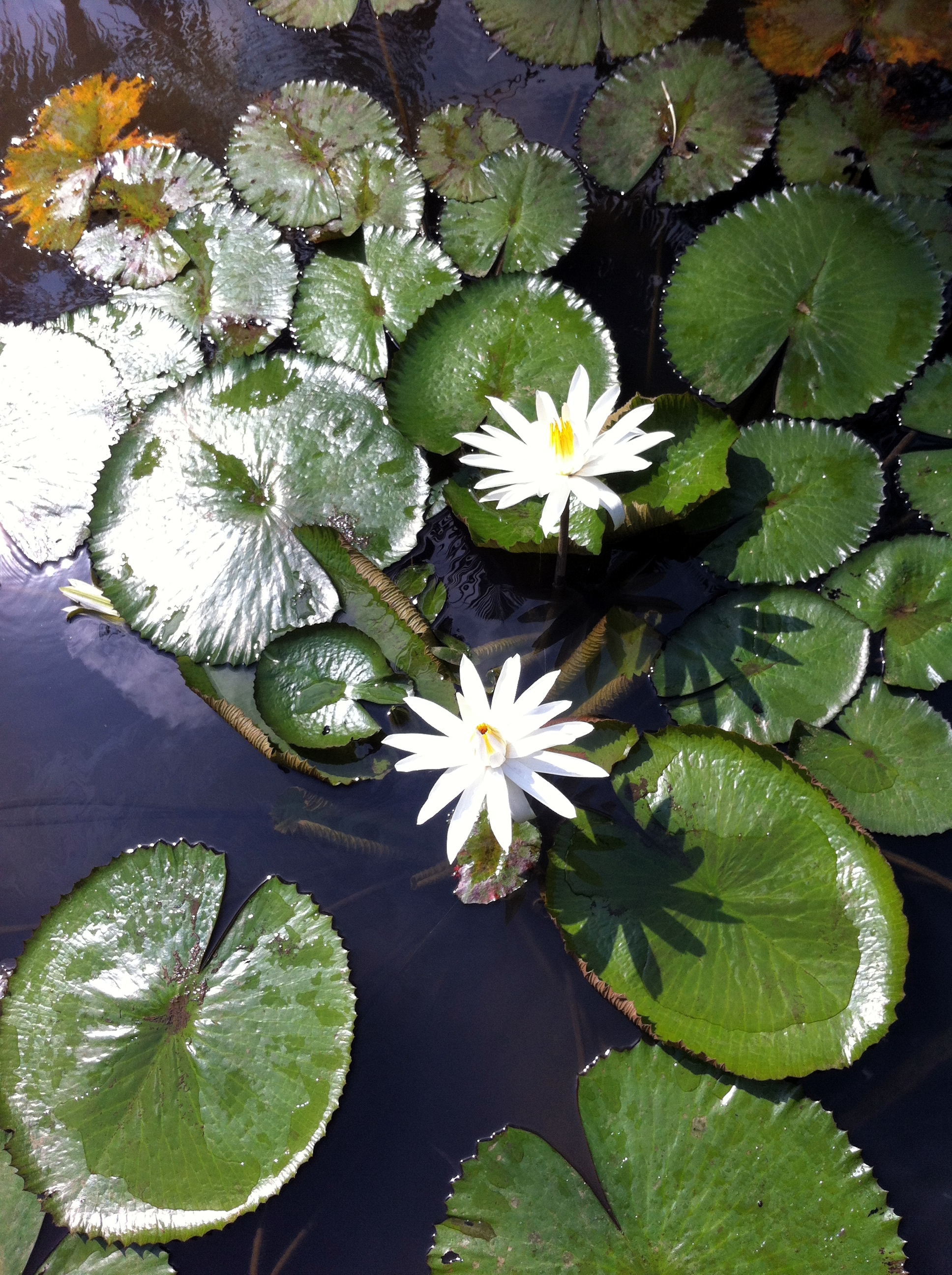 White Water Lilies at Kampung Naga