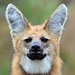 Maned Wolf Chrysocyon brachyurus portrait at a savannah grassland by labecoaves