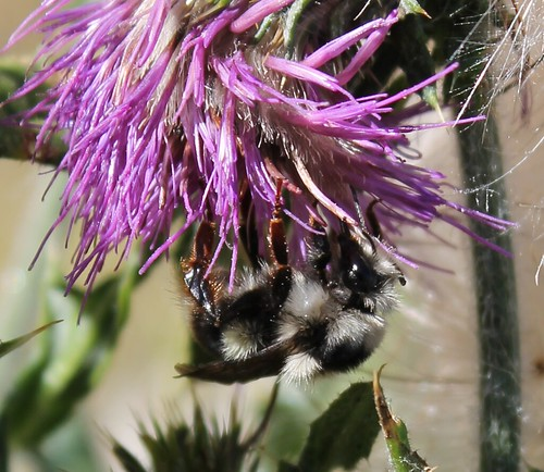 Bombus bifarious on thistle, photo by T.D. Hatten