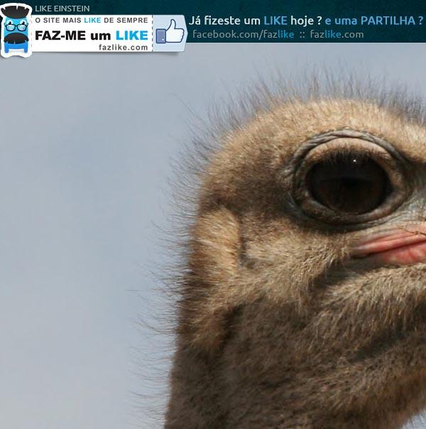 Qual é o animal cujo olho é maiores que o cérebro?