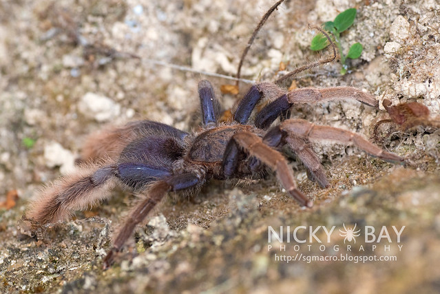 Malaysian Purple Femur Tarantula (Coremiocnemis sp.) - DSC_5985