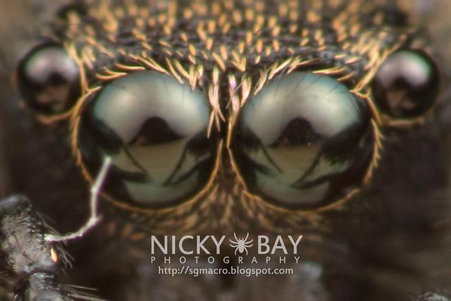 Jumping Spider (Salticidae) - DSC_5565