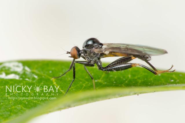 Dagger Fly (Empididae) - DSC_5265