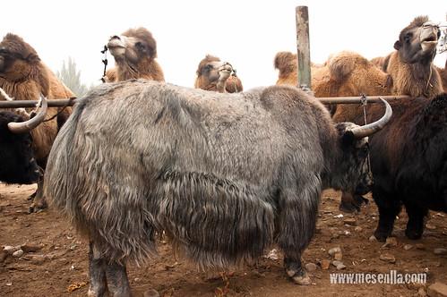 Un Dzo -encreuament entre vaca i iac - i camells en el mercat de Kashgar