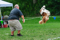 dog sports, animal sports, dog, grass, sports, pet, conformation show, lawn,