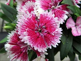 Dark pink dianthus