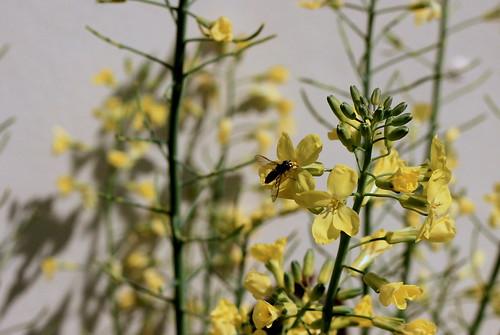 IMG 4752 Wild Black Bee
