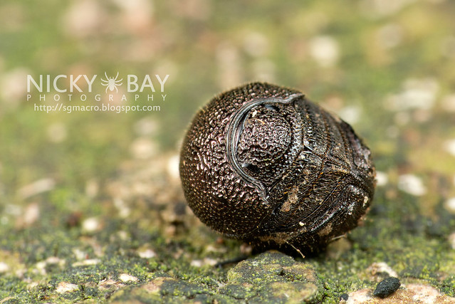 Pill Bug? (Armadillidiidae) - DSC_8455