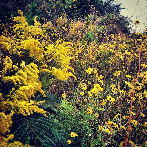 #yellow Goldenrod