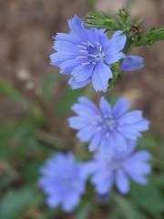 日, 2012-09-16 11:02 - 青い花