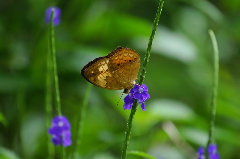 台灣黃斑蛺蝶-2