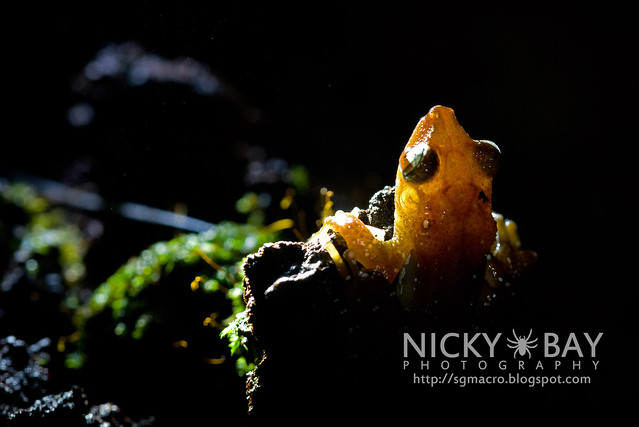 Spotted Tree Frog (Nyctixalus pictus) - DSC_6301