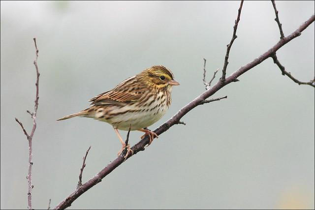 Savannah Sparrow (Passerculus sandwichensis