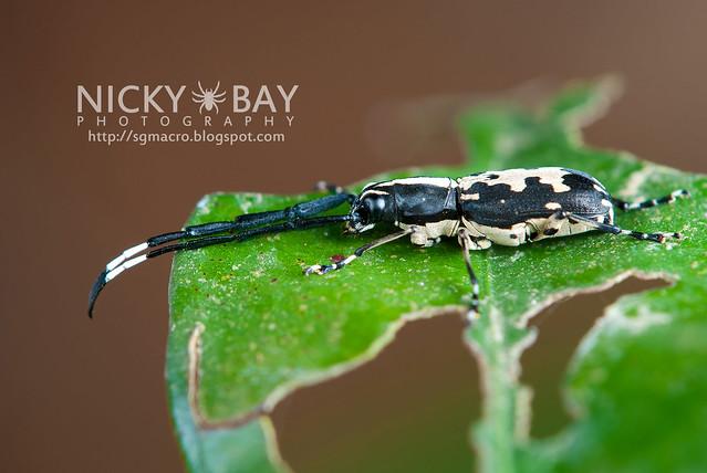 Longhorn Beetle (Cerambycidae) - DSC_5856