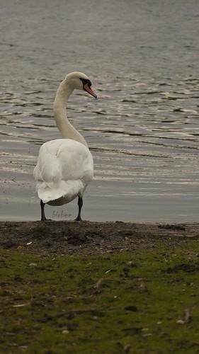 Swan by birbee