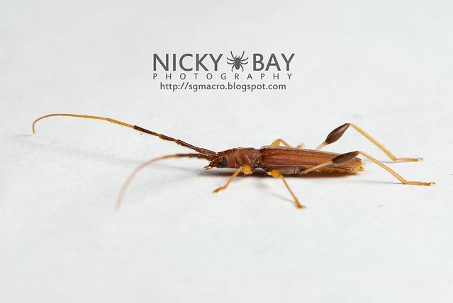 Longhorn Beetle (Cerambycidae) - DSC_5587