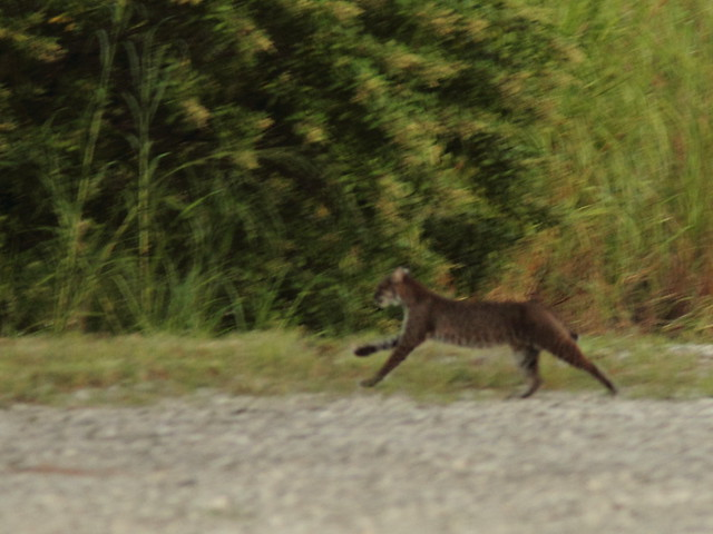 Bobcat fleeing 20121005