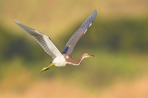 In-flight Juvenile Tri-colored Heron by Jeff Dyck