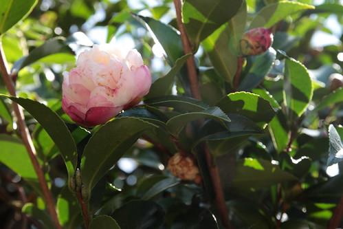 五島市椿園